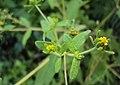 Sigesbeckia orientalis 04.JPG