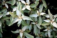 Silber-Ölweide (Elaeagnus commutata) 5824