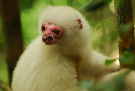 The critically endangered silky sifaka Silky Sifaka Pink Face Closeup.JPG