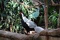 Silver Pheasant (31356293533).jpg