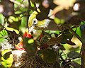 Silvereye with three chicks in nest with open beaks for feeding.jpg