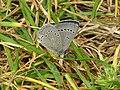 Silvery Blue-underside.jpg