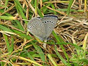 Glaucopsyche lygdamus - G. l. couperi, Ottawa, Ontario, Canada