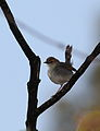 Singing cisticola, Cisticola cantans, Vumba, Zimbabwe (21744214899).jpg