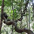 Sinharaja Rain Forest, Sri Lanka - panoramio (1).jpg