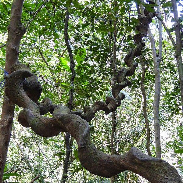 File:Sinharaja Rain Forest, Sri Lanka - panoramio (1).jpg