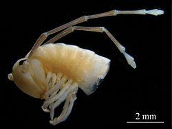 Sinocallipus deharvengi head.jpg