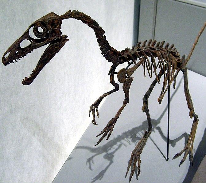 http://upload.wikimedia.org/wikipedia/commons/thumb/4/4f/Sinosauropteryxskull.jpg/671px-Sinosauropteryxskull.jpg