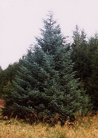 Kielder Forest - Sitka Spruce growing in Kielder Forest