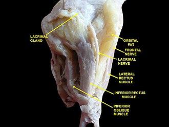 Inferior oblique muscle - Image: Slide 8ababa