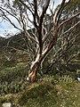 Snowgum NSW.jpg