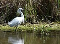 Snowy Egret (33938798380).jpg