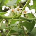 Solanum betaceum-IMG 4476.jpg
