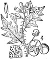 Solanum carolinense L. Carolina horsenettle.tiff