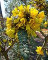 Sophora microphylla (8433388645).jpg