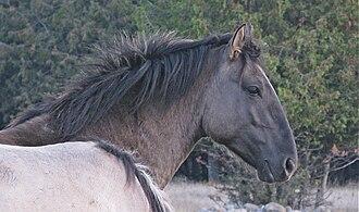 Sorraia - A Sorraia stallion with characteristic convex facial profile.