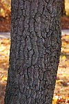 Sourwood Oxydendrum arboreum Trunk Bark 2000px.jpg