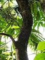 Southern Flying Lizard Draco dussumieri by Dr. Raju Kasambe DSCN2325 (12).jpg