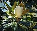 Southern Magnolia. Magnolia grandiflora (38432180832).jpg