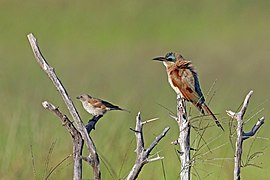 Southern carmine bee-eater (Merops nubicoides) with southern grey-headed sparrow (Passer diffusus).jpg
