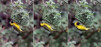 Southern masked weaver (Ploceus velatus) male building nest composite.jpg