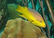 Spanish-hogfish