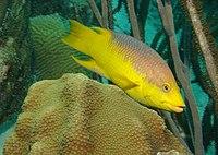 Spanish-hogfish.jpg