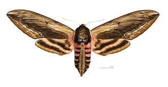 Sphinx ligustri - Image: Sphinx ligustri MHNT dos femelle