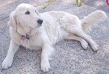 Un perro de raza Golden Retriever