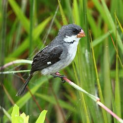 Sporophila leucoptera - White-bellied Seedeater (male).jpg