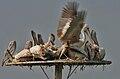 Spot-billed Pelican (Pelecanus philippensis) mating in Uppalapadu, AP W IMG 5102.jpg