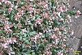 Spot the Hummingbird hawk-moth (BG) (15590747494).jpg