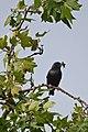 Spotless Starling (4782226510).jpg