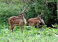 Spotted Deers scared of tiger attack.jpg