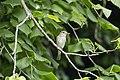 Spotted Flycatcher2.jpg