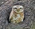 Spotted Owlet (Athene brama) at Bharatpur I IMG 5275.jpg