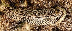 Spriggina - Digitally enhanced image of a Spriggina fossil
