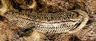 Spriggina - Digitally enhanced image of a Spriggina fossil