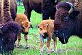 Spring Bison calves.jpg