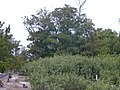 Starr-010520-0001-Ficus macrophylla-habit-Sand Island-Midway Atoll (24237125820).jpg