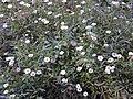 Starr-020221-0054-Erigeron karvinskianus-flowers-Polipoli-Maui (24438529602).jpg