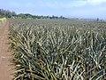 Starr-020630-0020-Ananas comosus-field-Makawao-Maui (24524052136).jpg