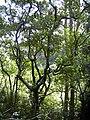 Starr-030807-0011-Aleurites moluccana-habit-Hana Hwy-Maui (24012027383).jpg