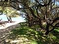 Starr-050108-2994-Cynodon dactylon-restoration site-Kanaha Beach-Maui (24640833011).jpg