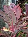 Starr-060916-8977-Cordyline fruticosa-red leaves-Makawao-Maui (24747533682).jpg
