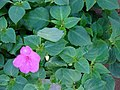 Starr-080103-1135-Impatiens walleriana-flower and leaves-Lowes Garden Center Kahului-Maui (24531389869).jpg