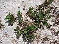 Starr-080531-4824-Portulaca oleracea-habit-Bravo barracks Sand Island-Midway Atoll (24910805665).jpg