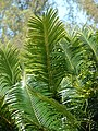 Starr-080531-4925-Cycas circinalis-leaves-Commodore Ave around residences Sand Island-Midway Atoll (24615511420).jpg