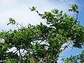 Starr-090608-8994-Spondias purpurea-habit and fruit-Waikapu-Maui (24869292991).jpg