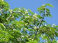 Starr-090610-0457-Enterolobium cyclocarpum-flowers and leaves-Haiku-Maui (24845604812).jpg
